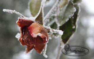 Rózsák téli takarása.